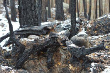 Planerad skogsbrand för ökad biologisk mångfald