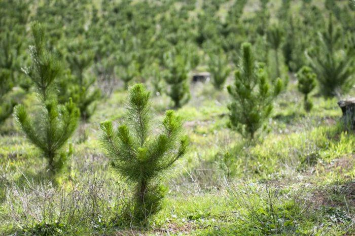 Mellanskog och Svenska Skogsplantor tecknar långsiktigt avtal