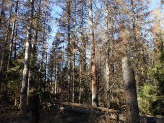 Om risker med granbarkborre i skyddad natur