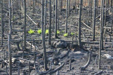 Vegetationen studeras efter brand